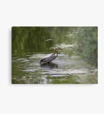Great Blue Heron with Creek Chub Metal Print