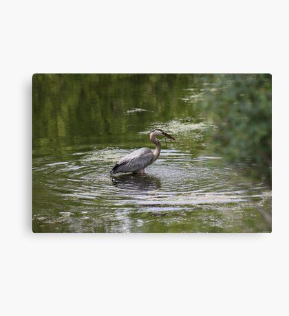 Great Blue Heron with Creek Chub Canvas Print