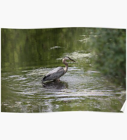 Great Blue Heron with Creek Chub Poster