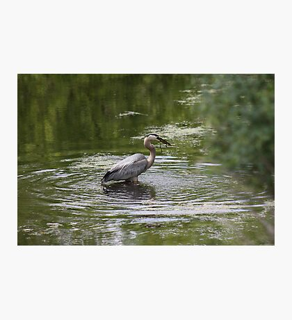 Great Blue Heron with Creek Chub Photographic Print