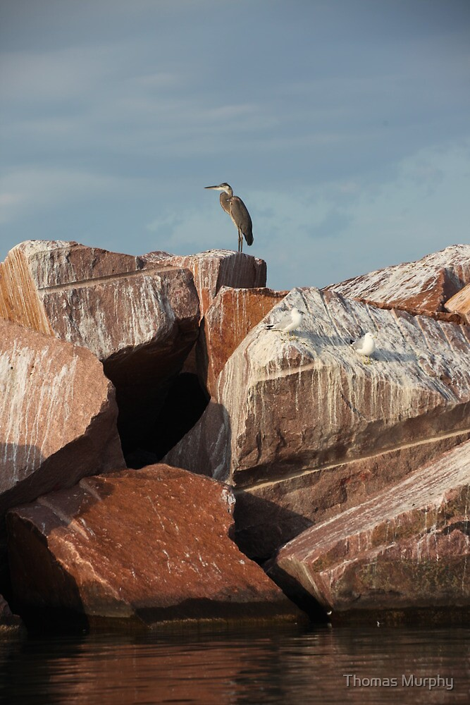 Great Blue Heron on Red Rock by Thomas Murphy