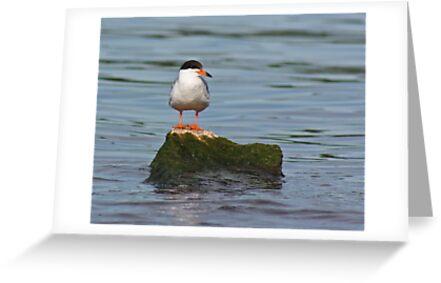 Tern on Rock by Thomas Murphy
