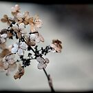 Hydrangea by Sam Warner