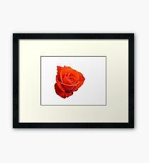 Rose on white Framed Print