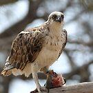 Osprey by paulinea