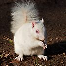 Albino squirrel by Geoff Carpenter