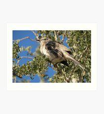 Northern Mockingbird ~ Shading  Art Print