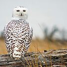 Snowy Owl Immigrant. by Todd Rollins