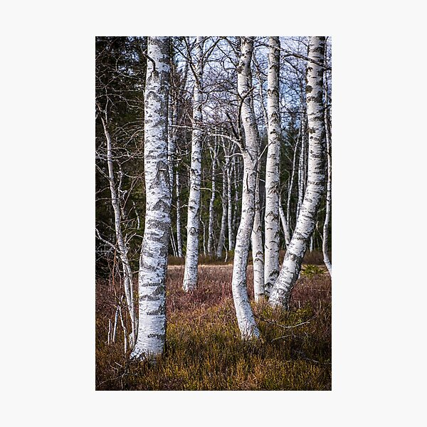 Grove of silver birch trees Photographic Print