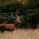 Stag by mpstone