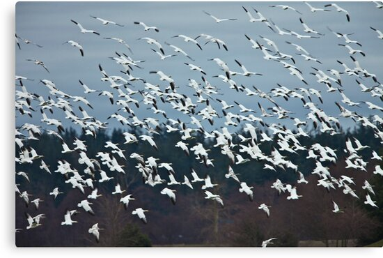 Snow Geese by Jim Stiles