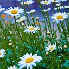 Daisy Blue by barkeypf