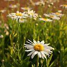 Wild Daisies - Western Australia by BGpix