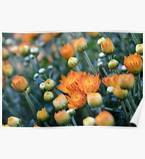 A Cluster of Orange Flowers Found in The Garden Poster
