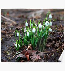 First Snowdrops ( Galanthus nivalis)   of 2012 8th January. Poster