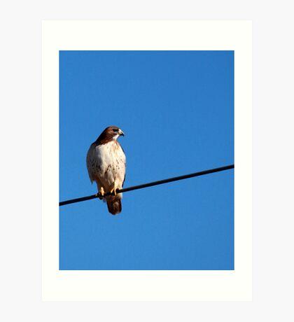 Hawk on A Wire Art Print
