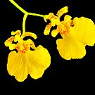 Twin Orchid Blooms by glennc70000