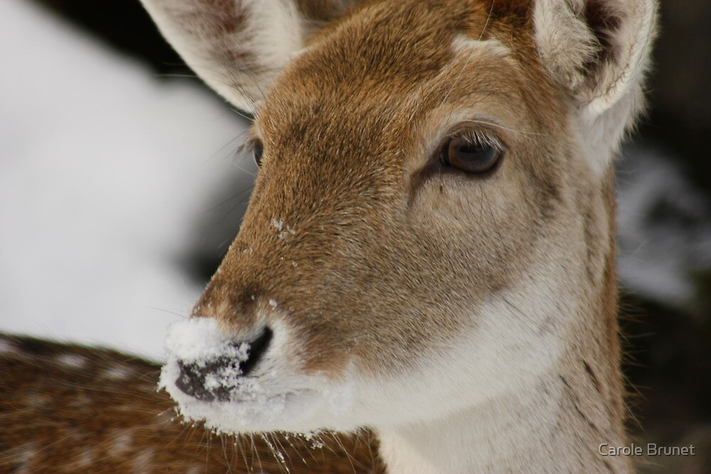 Snow on the Nose by Carole Brunet