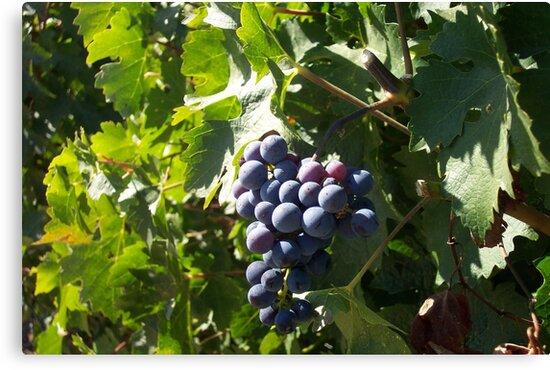 Napa Grapes by photosbycecileb