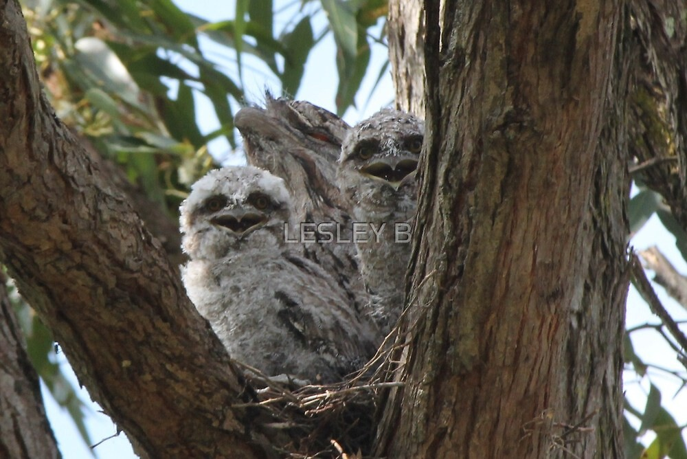 Tawny Frogmouth... by LESLEY BUtler