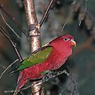 Chattering Lory Bird. by JoeTravers