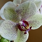 Orchid by Lennox George