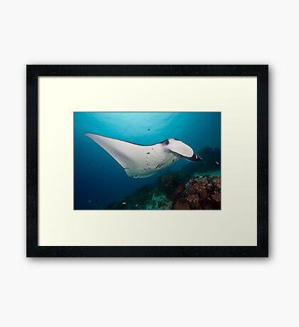 Manta Framed Print