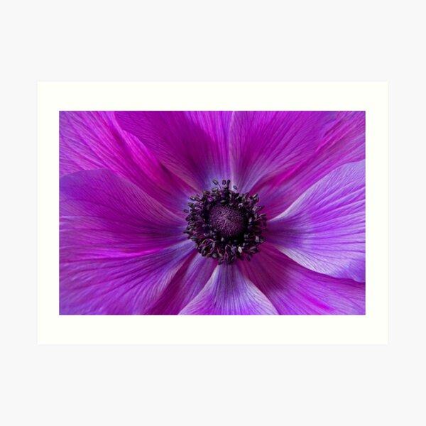 Purple poppy flower Art Print