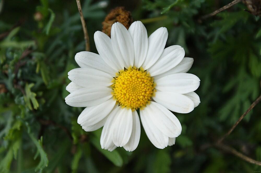 Daisy by Lennox George