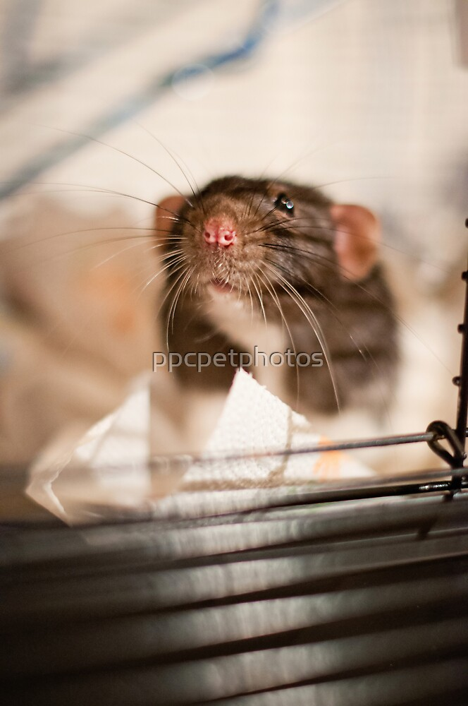Rat by ppcpetphotos