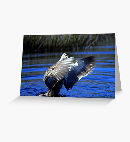 North Head Manly - Pacific Black Duck Greeting Card