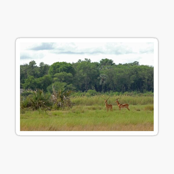 Okavango Delta scene with impala Sticker