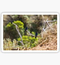 Two welcome swallows perched on a branch Sticker