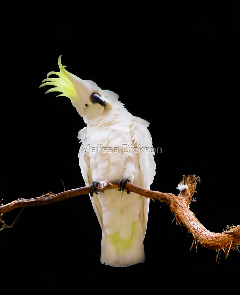 Sulphur-crested Cockatoo by Melissa Dickson