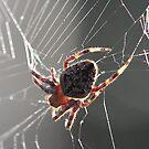 spider, spider, burning bright.... by paulinea