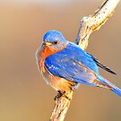 Eastern Bluebird at Dawn by Nancy Barrett