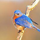 Eastern Bluebird at Dawn by Nancy Barrett