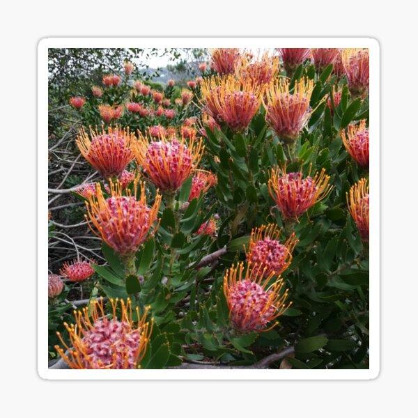 Perfect Pincushion Proteas Sticker