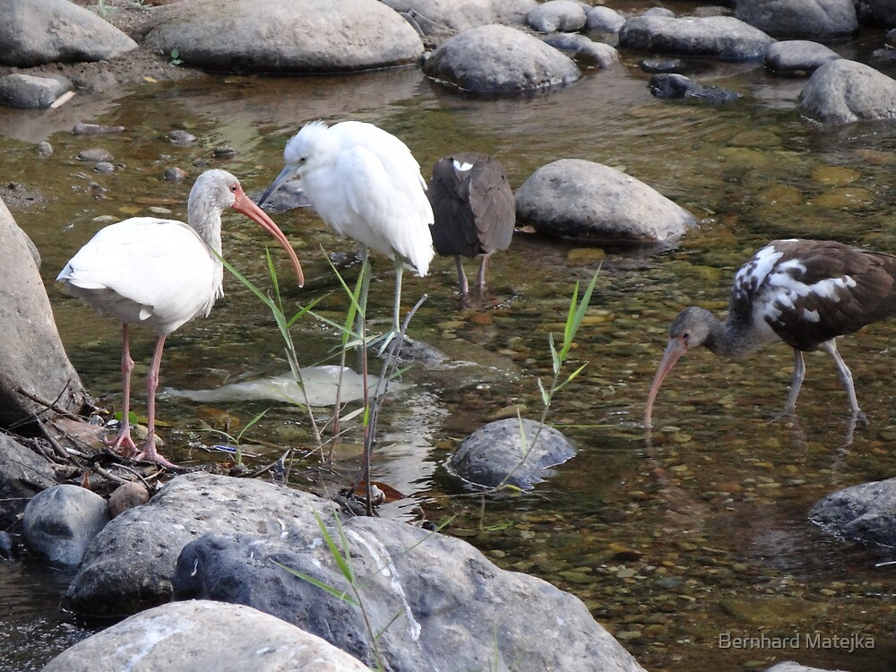 Heron And Ibis - Garza Blanca E Ibis by Bernhard Matejka