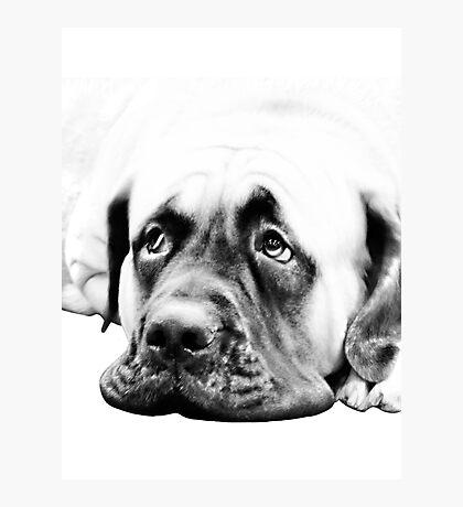 Bull Mastiff Photographic Print