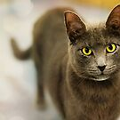 Staring Cat by ppcpetphotos
