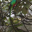 Resplendent Quetzal  by naturalnomad