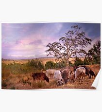 Chow Time - Galloway Cows, Kanmantoo, The Adelaide Hills, SA Poster