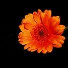 Orange Gerbera by AnnDixon