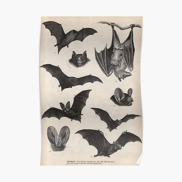 vintage victorian bat illustrations Poster