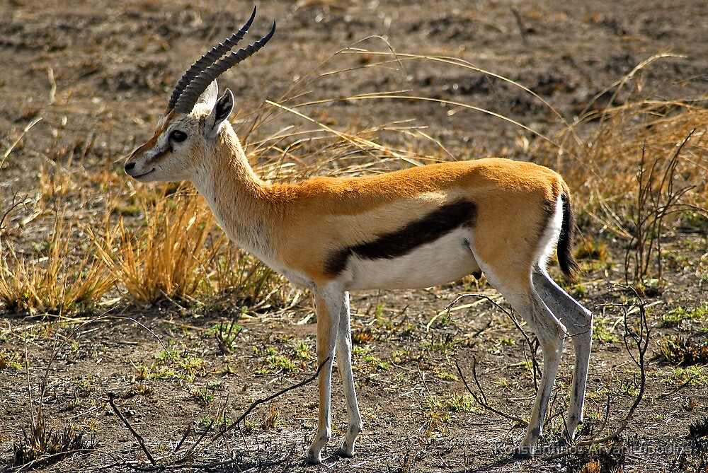 Young Thomson's Gazelle by Konstantinos Arvanitopoulos