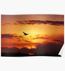 Sunset Stalking Sparrowhawk Poster