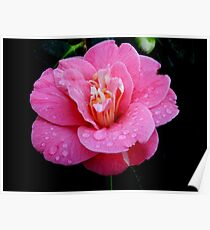 Dew drops on a Rhododendron Poster