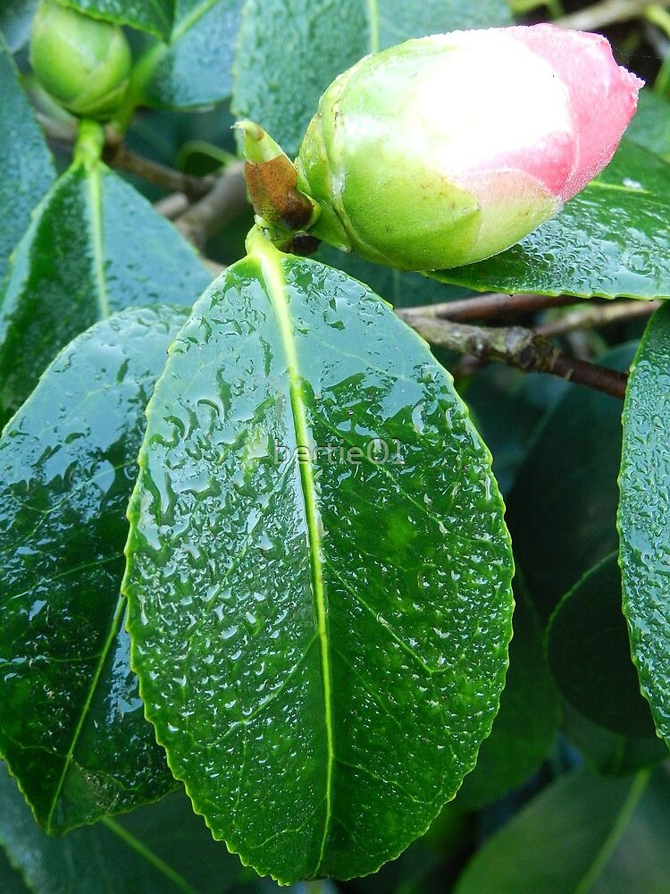 Rhododendron in bud by bertie01