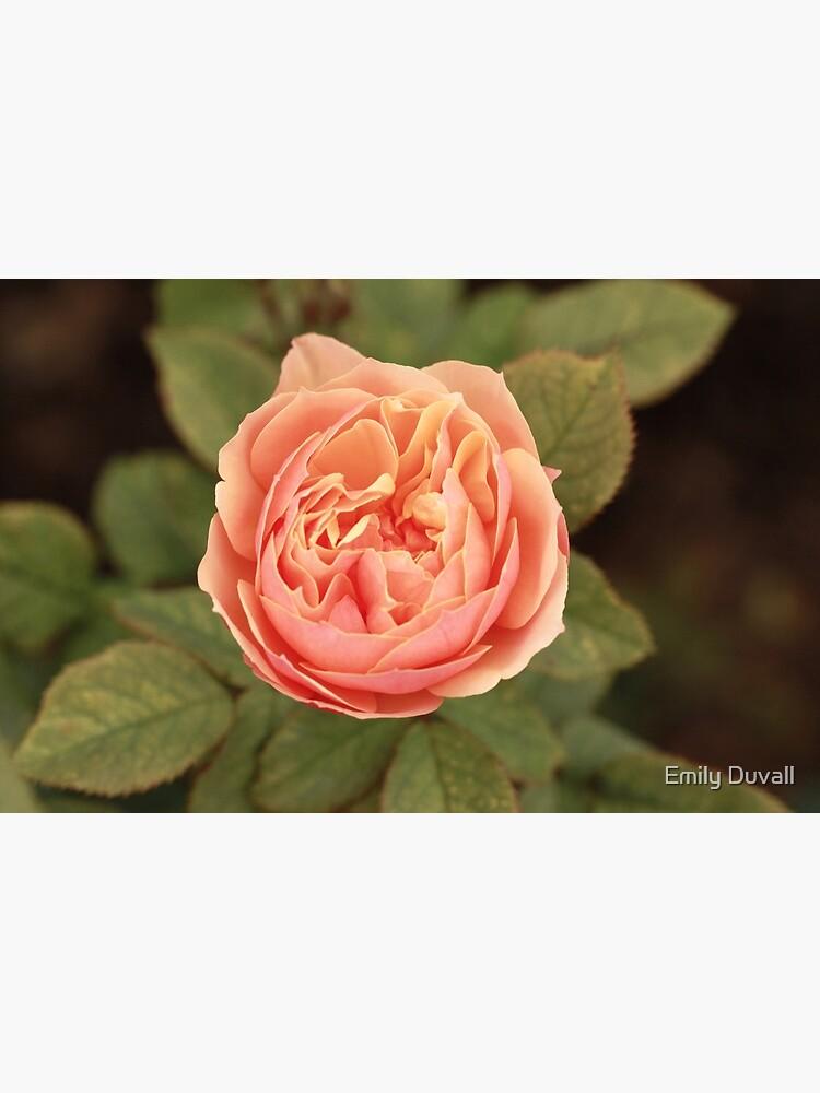 Coral Rose by PeaceAndBeauty